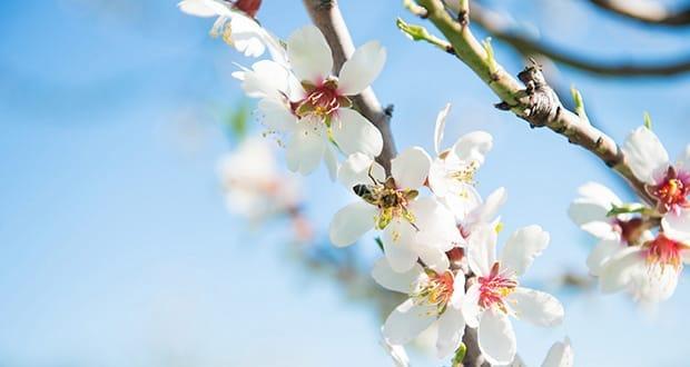 Almond Blossom on Mallorca