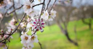 Almond Blossom fair Son Servera