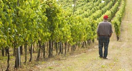 Weinbauer prüft Weinbestand